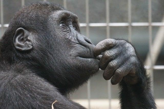 primate-ape-thinking-mimic